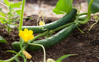6 Tips for Growing the Perfect Vegetable Garden