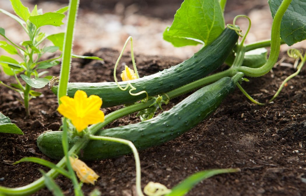 vegetable garden, growing a vegetable garden, vegetable garden tips