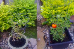 Chris K Testimonial - Tomatoes